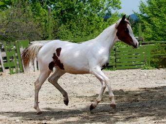 Cavalli Quarab